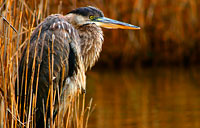 Blue Heron: copyright Michael Land Photography