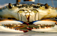 Blue Crab: copyright Michael Land Photography