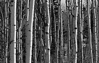 Aspens: copyright Michael Land Photography