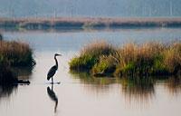 Blackwater Heron: copyright Michael Land Photography