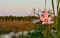 Marsh Hibiscus: copyright Michael Land Photography
