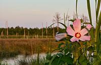 Marsh Hibiscus: copyright Michael Land Photography