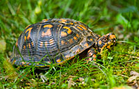 Eastern Box Turtle: copyright Michael Land Photography
