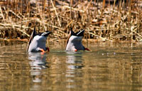 Duck Butts: copyright Michael Land Photography