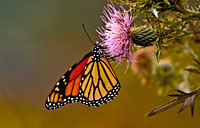 Monarch: copyright Michael Land Photography