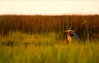 Janes Island Heron II: copyright Michael Land Photography
