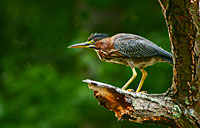 Perched Green Heron: copyright Michael Land Photography