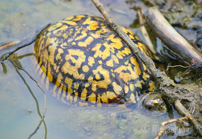 Eastern Box Turtle II