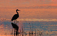 Morning Heron: copyright Michael Land Photography