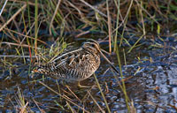 Common Snipe: copyright Michael Land Photography