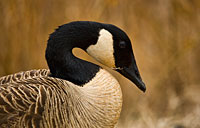 Canada Goose: copyright Michael Land Photography