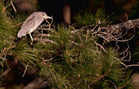Juvenile Heron: copyright Michael Land Photography