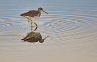 Lesser Yellowlegs: copyright Michael Land Photography