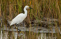 Snowy Egret: copyright Michael Land Photography