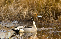 Northern Pintail: copyright Michael Land Photography