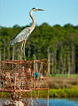 Heron and Pots: copyright Michael Land Photography