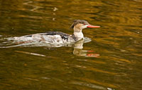 Red-breasted Merganser II: copyright Michael Land Photography