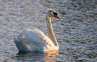 Mute Swan: copyright Michael Land Photography