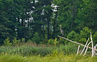 Eastern Neck Heron: copyright Michael Land Photography