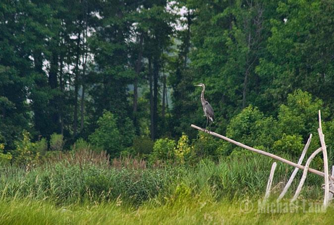 Eastern Neck Heron