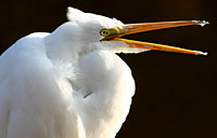 Great Egret: copyright Michael Land Photography