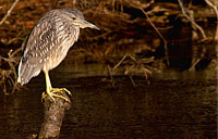 Juvenile Heron II: copyright Michael Land Photography