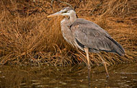 Chincoteague Heron: copyright Michael Land Photography