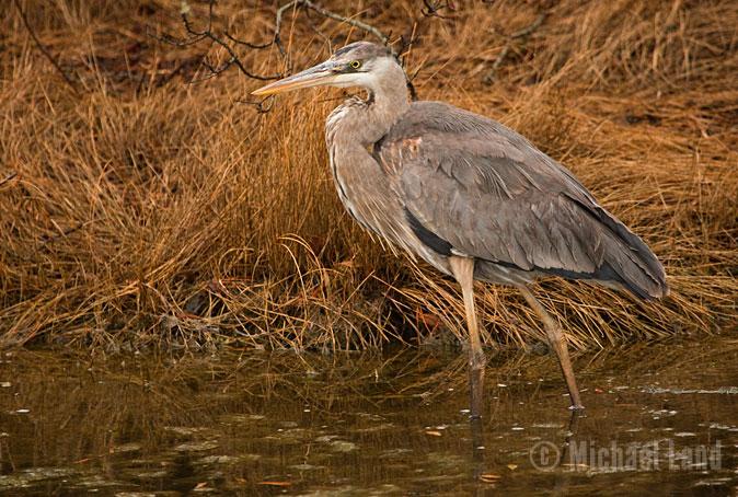 Chincoteague Heron