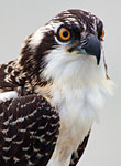 Hooper's Osprey: copyright Michael Land Photography