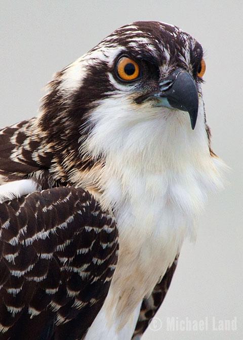 Hooper's Osprey