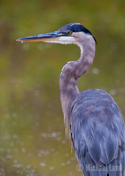 Blackwater Heron III