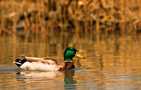 Mallard: copyright Michael Land Photography