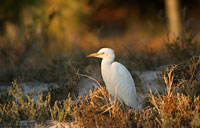 Cattle Egret: copyright Michael Land Photography