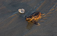 Loggerhead Hatchling I: copyright Michael Land Photography