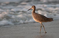 Willet: copyright Michael Land Photography