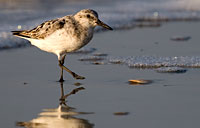 Sandpiper: copyright Michael Land Photography
