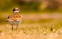 Killdeer: copyright Michael Land Photography