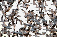 Winter Geese: copyright Michael Land Photography